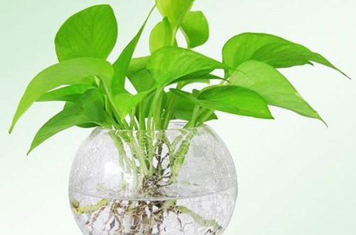 Tác dụng của cây trầu bà, cách trồng trầu bà trong nước